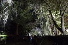 角館夜桜 Ⅰ
