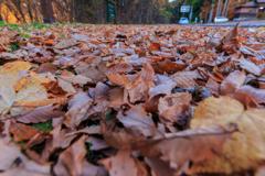 田沢湖 湖畔の落ち葉