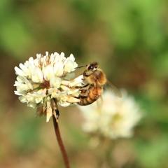 日本ミツバチ1