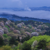 雨後の山桜