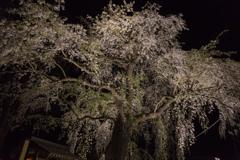 角館夜桜 79番木