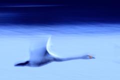 白鳥 夢飛行
