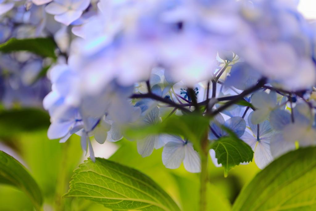 紫陽花 Ⅳ