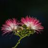 合歓の花 Ⅹ