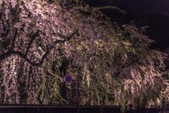 角館夜桜 Ⅳ