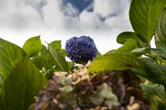 紫陽花の挽歌