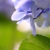 紫陽花 Ⅱ