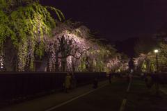 角館夜桜 ラスト!