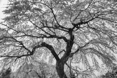 大竹の枝垂れ桜