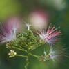 合歓の花 Ⅱ