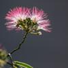 合歓の花 Ⅷ