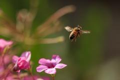 西洋ミツバチ Ⅲ