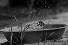 夏の雀 水浴び