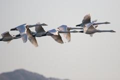 白鳥 密集