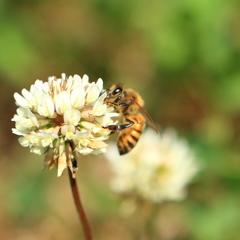 日本ミツバチ2