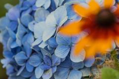 紫陽花 Ⅵ