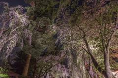 角館夜桜 Ⅶ