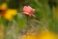 我が家の薔薇