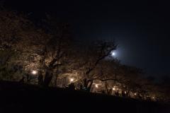 堤上の夜桜