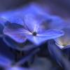 紫陽花 Ⅲ