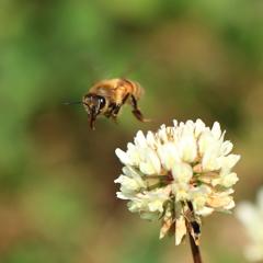 日本ミツバチ3