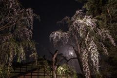角館夜桜 Ⅴ