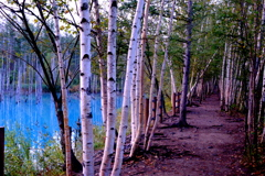 青い池と白樺並木