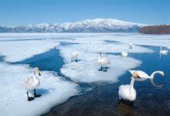 今冬の道東めぐり 白鳥の湖