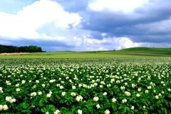 大地 イモの花