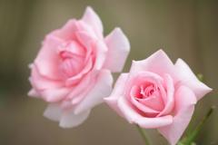 秋薔薇:プリンセス アイコ