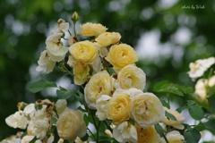 ツルバラ 黄色