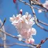 春の十月桜:2019年3月撮影