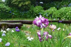 雨の菖蒲園