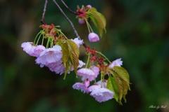 雨上がりの八重桜