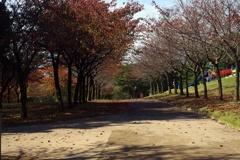 桜並木通りの紅葉