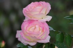 Twin's Rose