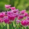2017 Tulip