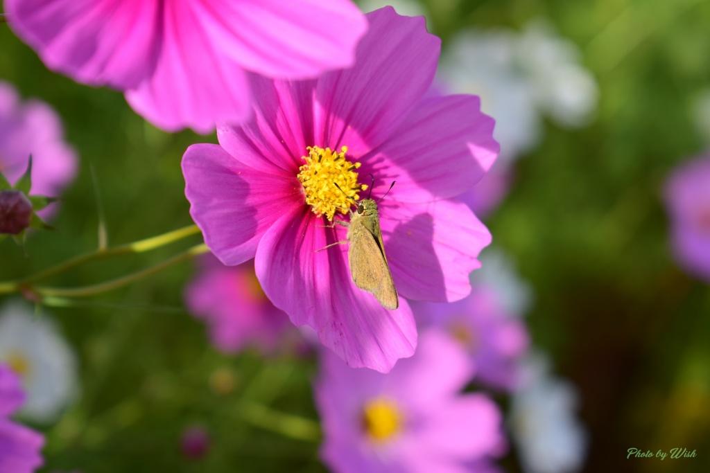 秋桜にセセリチョウ
