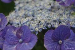 紫陽花の世界