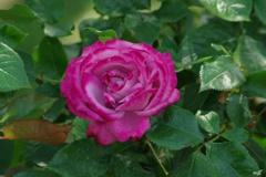 赤紫色の薔薇