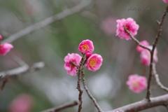3月の紅梅