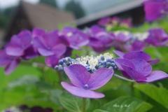 集落に咲く紫陽花