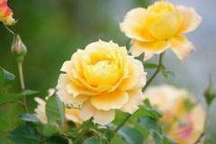 秋薔薇:万葉