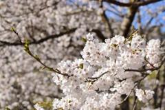 五箇山の満開桜
