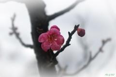 紅梅が咲く頃