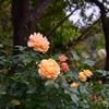 11月の薔薇