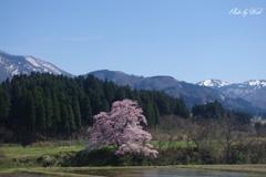 向野江戸彼岸桜