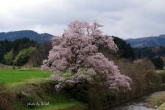 城端 江戸彼岸桜