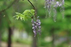 若葉と藤の花