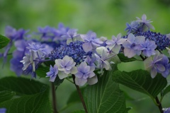 7月16日の紫陽花